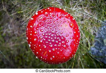 Amanita muscaria poisonous mushroom - Amanita muscaria,...