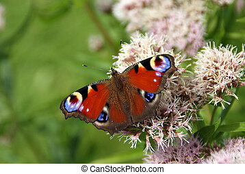 Peacock Butterfly on Hemp Agrimony Flowers - Peacock...