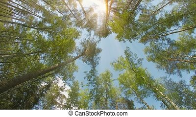 Mixed forest. Pines and birches. The tops of the trees on a sunny day