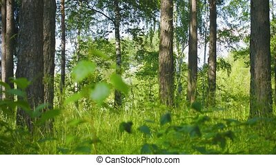 Mixed forest. Pines and birches. Panoramic shot