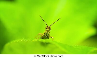 Small grasshopper sitting on a leaf of a plant close up -...