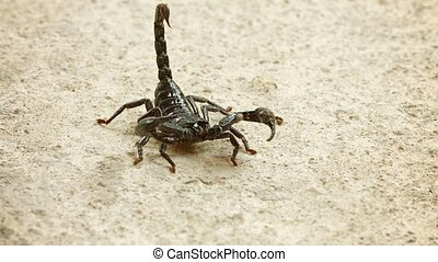 Asian forest scorpion (Heterometrus) In the position of...