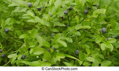 Blueberries on the bush in the forest close-up - UltraHD...