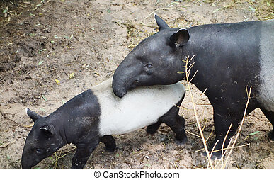 tapirs - mother tapir with baby