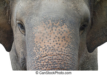 asian elephant - close up of asian elephant