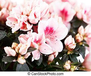 florescer, Cor-de-rosa, azaléia, de, Um, grau, de, Mevrouw,...