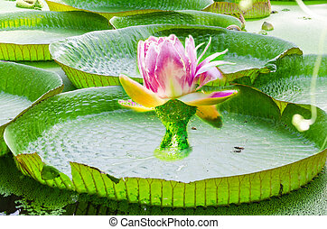 Whimsical, water lily, photomontage