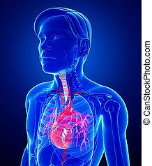 anatomía, corazón, macho