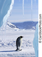 Emperor penguin (Aptenodytes forsteri) standing on the ice...