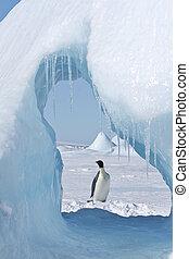 emperador, pingüino, (Aptenodytes, forsteri)