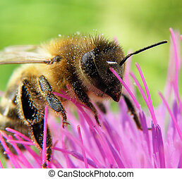 abelha, espinho