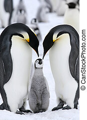 imperador, Pingüins, (Aptenodytes, forsteri)