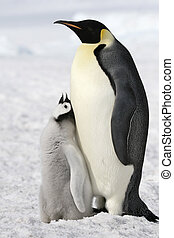 Emperor penguins (Aptenodytes forsteri) on the ice in the...