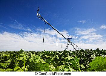 Irrigating turnips