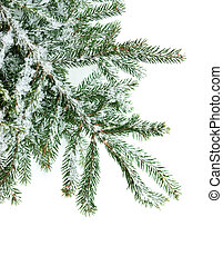 Fir branch - Fir tree branch covered with snow on white...