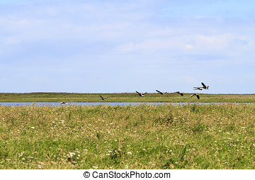 Geese taking flight over the grassland and lakes in the...