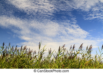 Reeds and clouds in the Dutch nature reserve of...
