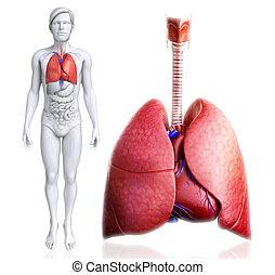 humano, Pulmones, anatomía,