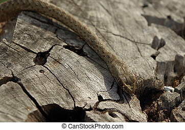 Wild snake on a tree trunk - A green and brown wild snake on...