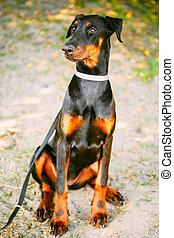 Black Doberman Dog Outdoor Portrait - Young, Beautiful,...