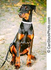 negro, Doberman, perro, Al aire libre, retrato,