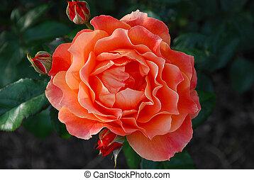 Orange tea rose in full bloom - a closeup