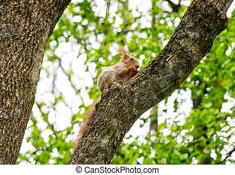 Squirrel on a Tree - A red squirrel perched in a tree eating...
