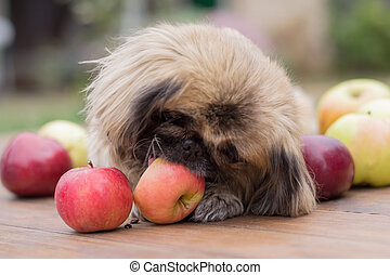 small dog and apple - small dog chews an apple on a wooden...