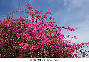 Flowering bush background blue sky - Plentiful flowering...