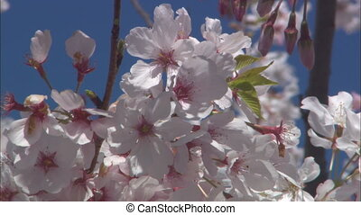 CU Cherry Blossoms - CU of cherry blossoms