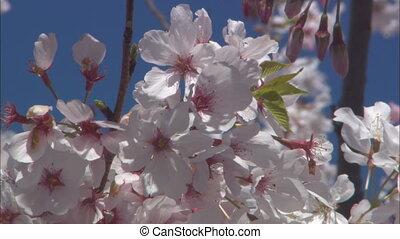CU Cherry Blossoms - CU of cherry blossoms