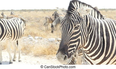 zebra portrait close up - portrait close up of zebra at the...