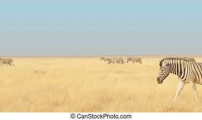 zebras walking savannah - herd of zebras walking through the...