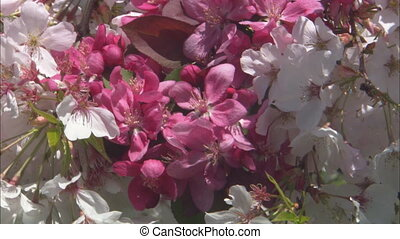 CU Pink And White Cherry Blossoms - CU of a mixture of pink...
