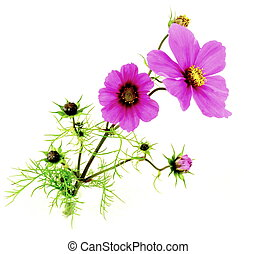Cosmea - a pink cosmea with buds to white reason