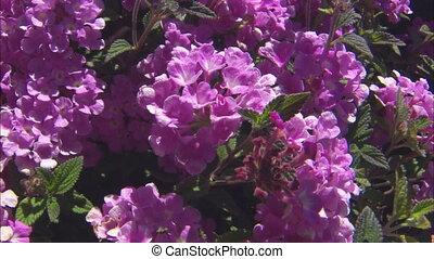 CU Streptocarpus Flowers - CU of a purple streptocarpus...