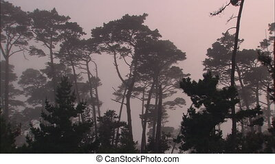 Cypress Evergreens In Fogbank - Panning left to right from...