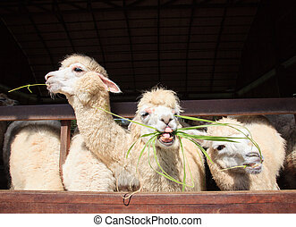 close up face of llama alpacas eating ruzi grass show lower...