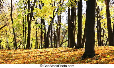 Autumn park with fallen leaves of a maple about a sunny day