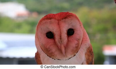 wild barn owl - closeup portrait of a barn owl