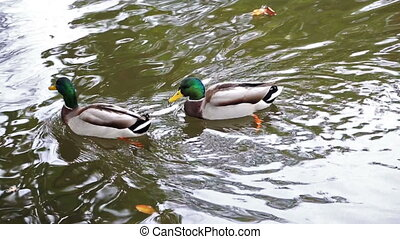 Wild ducks swimming on the river