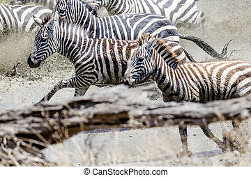 Afraid zebras running in the water - Fast running african...