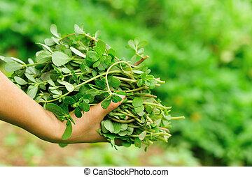 mujer, mano, Escoger, hierba, en, garden, ,