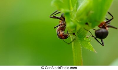 Two ants in the grass - Two ants on a green grass, early...