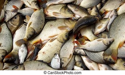Harvesting fish in autumn - Harvesting fish on Christmas...