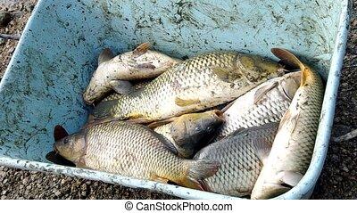 Counting Christmas carp - Fisherman counts, Christmas carp
