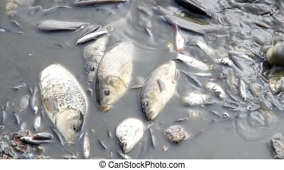 Harvesting of fish in the pond, waiting to be loaded