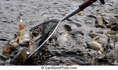 Harvesting of fish in the pond