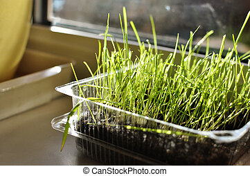sprouted grass in the box on the window