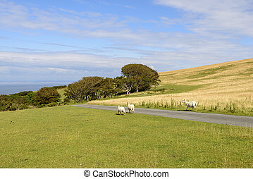 sheep on a road in the moor, Exmoor